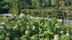 The rose garden 4