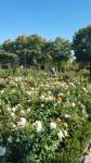 The rose garden 6