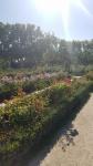 The rose garden 3